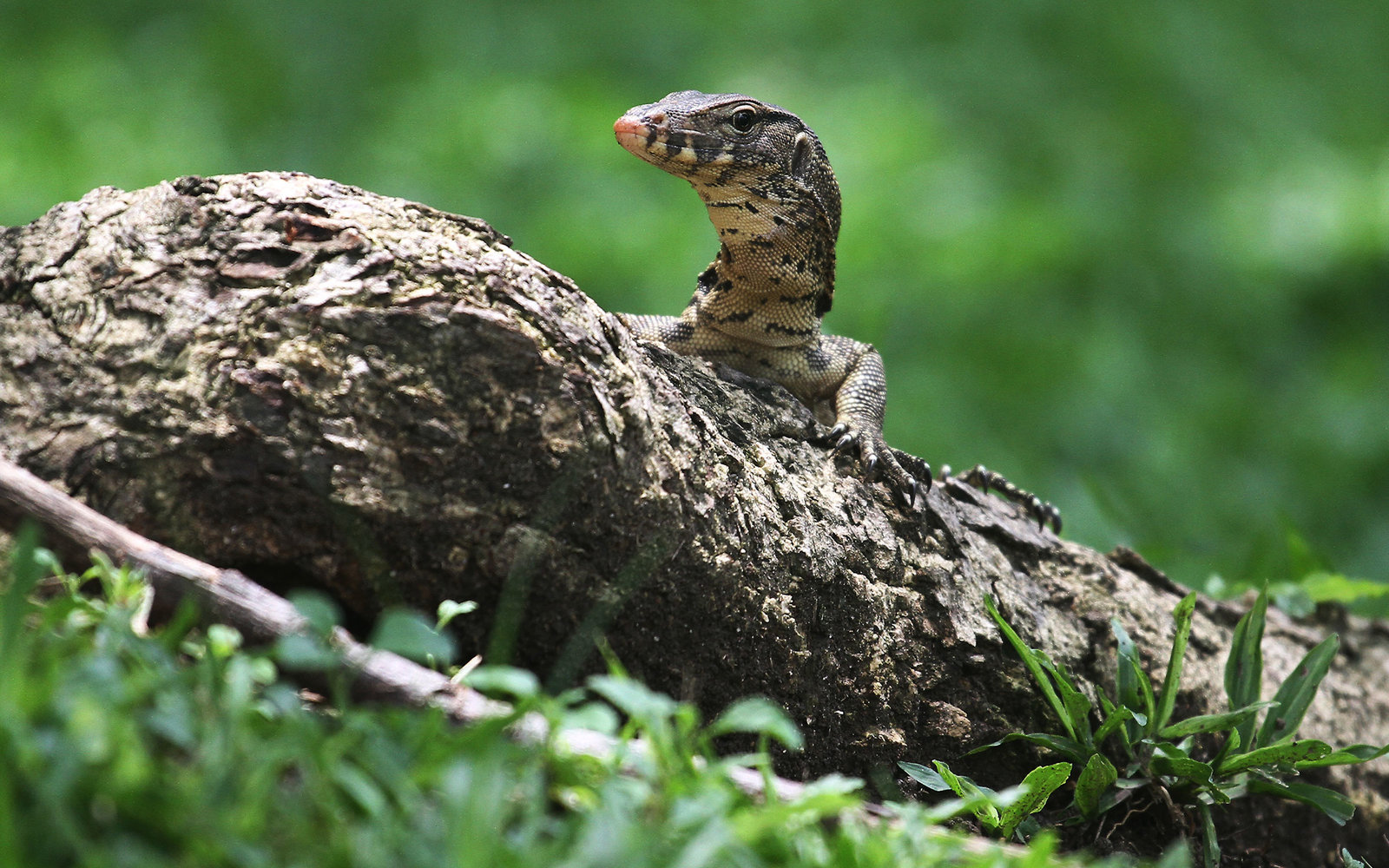 Giant Monitor Lizards Are Out of Control in This Bangkok Park