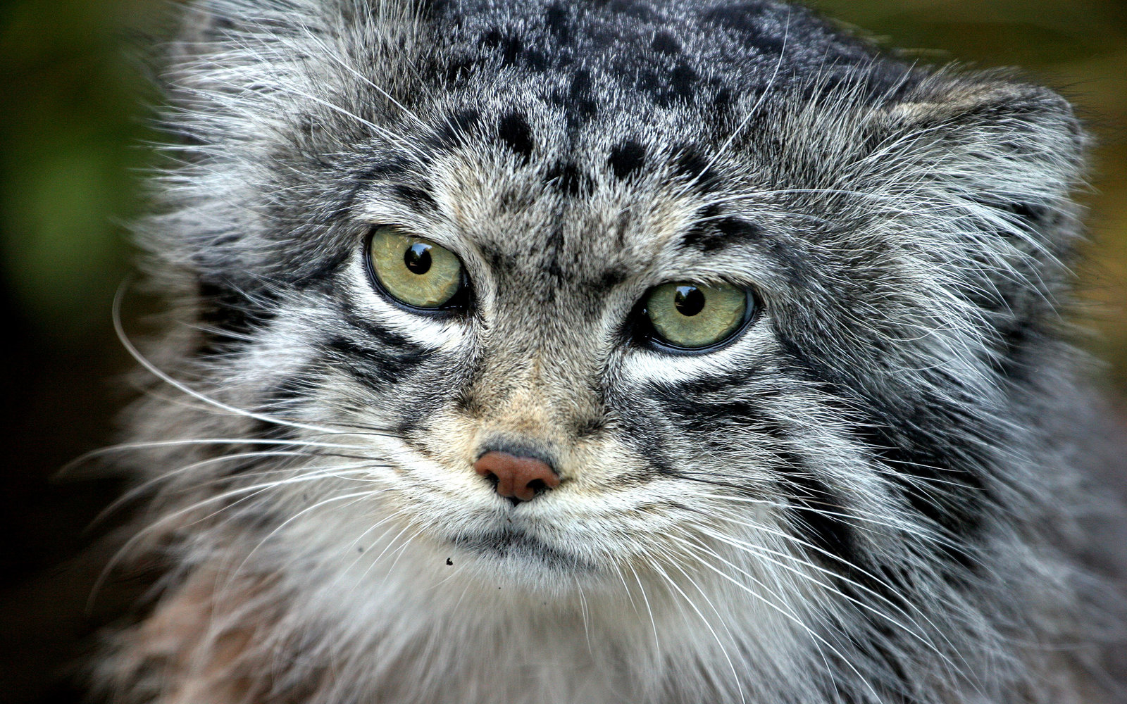 Pallas Cats Preserve in Siberia