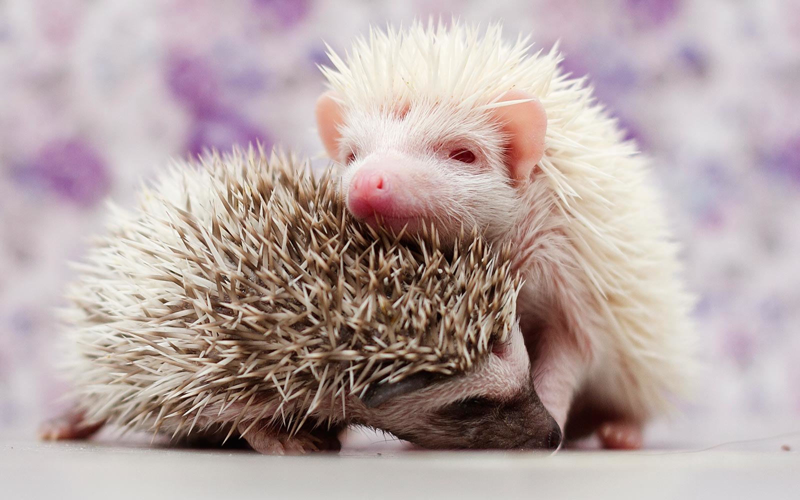 Baby Hedgehogs Born at Zoo