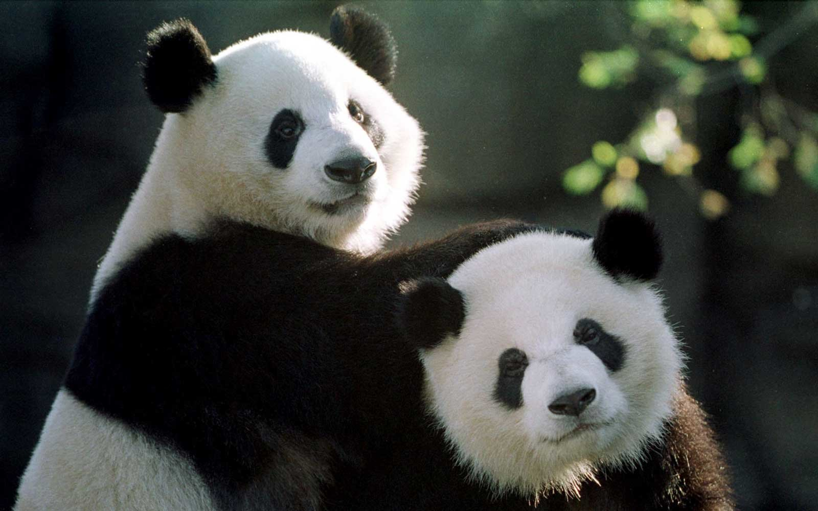 These Pandas Are Leaving Town