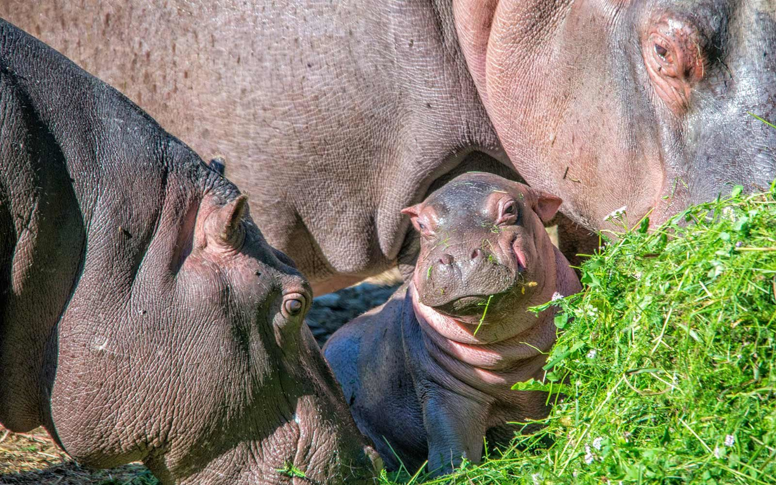 Baby hippo naming contest