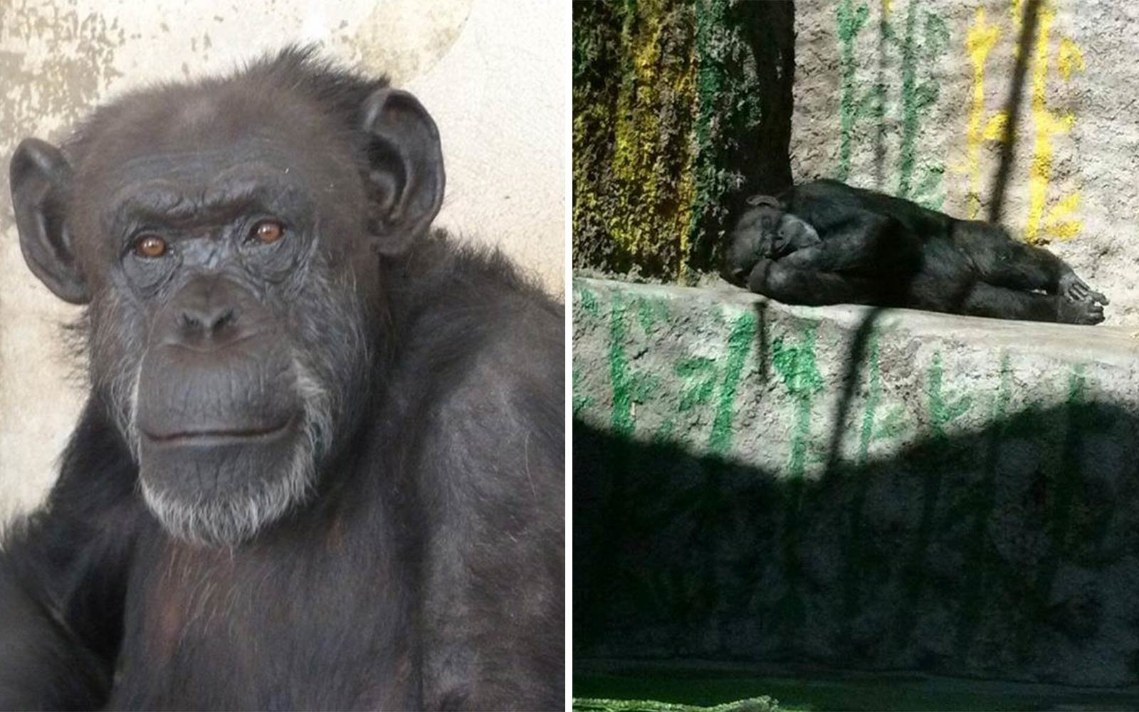 Judge Rules World's Loneliest Chimp Must be Freed