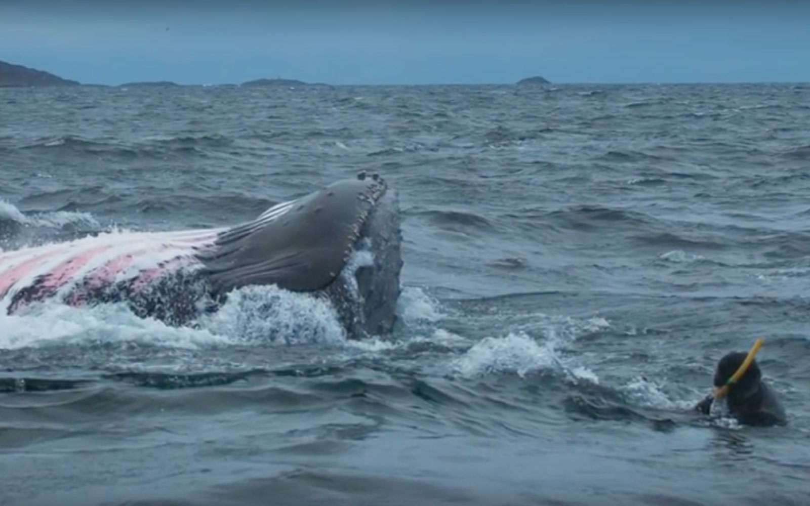 A diver came very close to a 35,000-pound humpback whale.