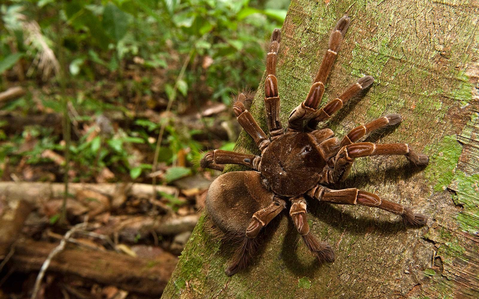 Surprising facts about the biggest spider in the world for Fishing spider michigan