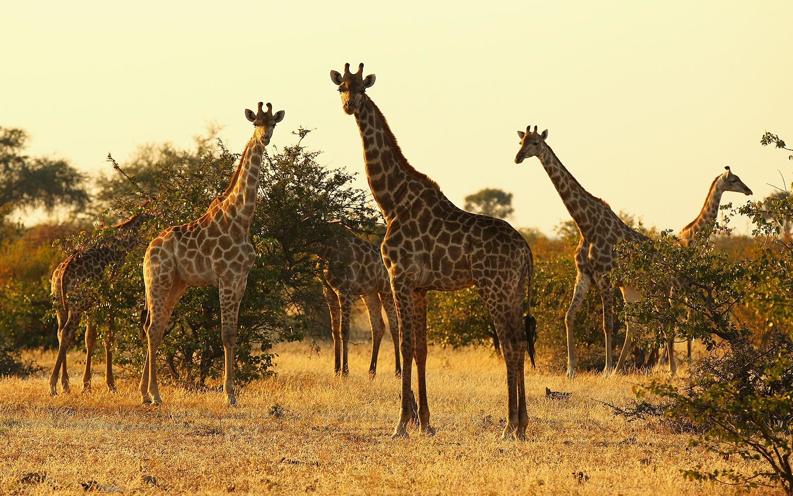 Giraffe Is Now Vulnerable to Extinction Following Population Decline