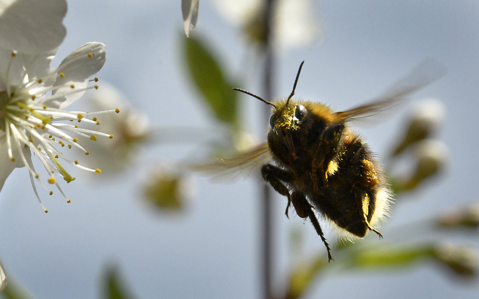 Bumble Bee Species Extinction