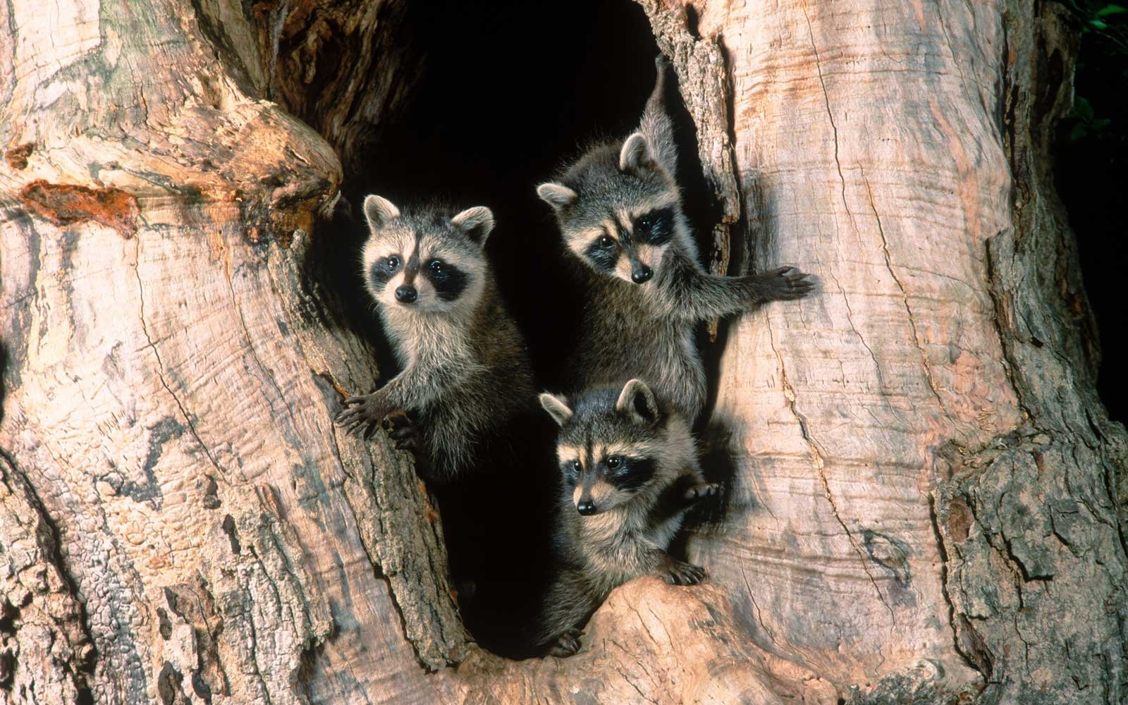 Raccoon Family Trip