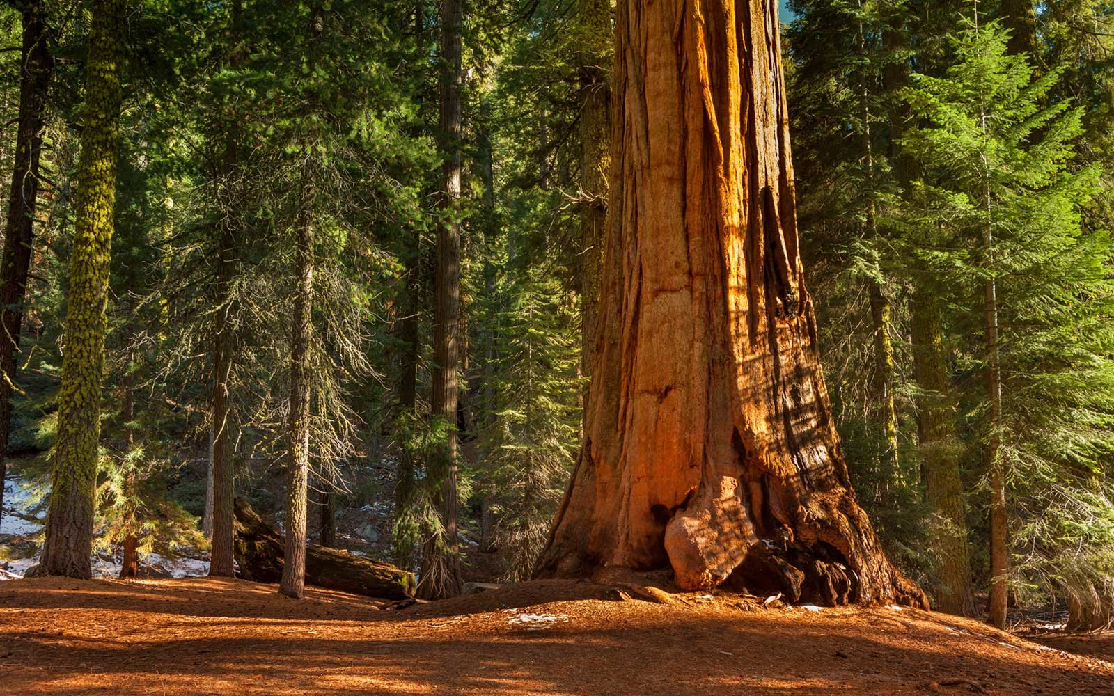 Sequoias, Kings Canyon National Park, California