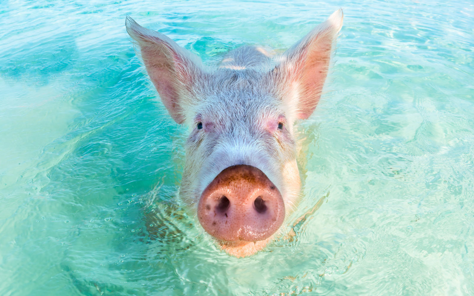 Where are the swimming pigs?
