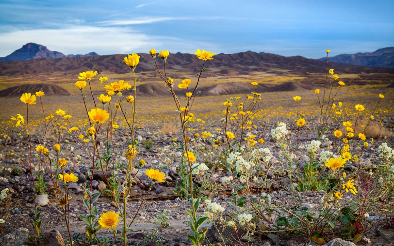 Californias winter rains could mean great desert wildflowers gold wildflowers super boom spring 2016 death valley national park mightylinksfo