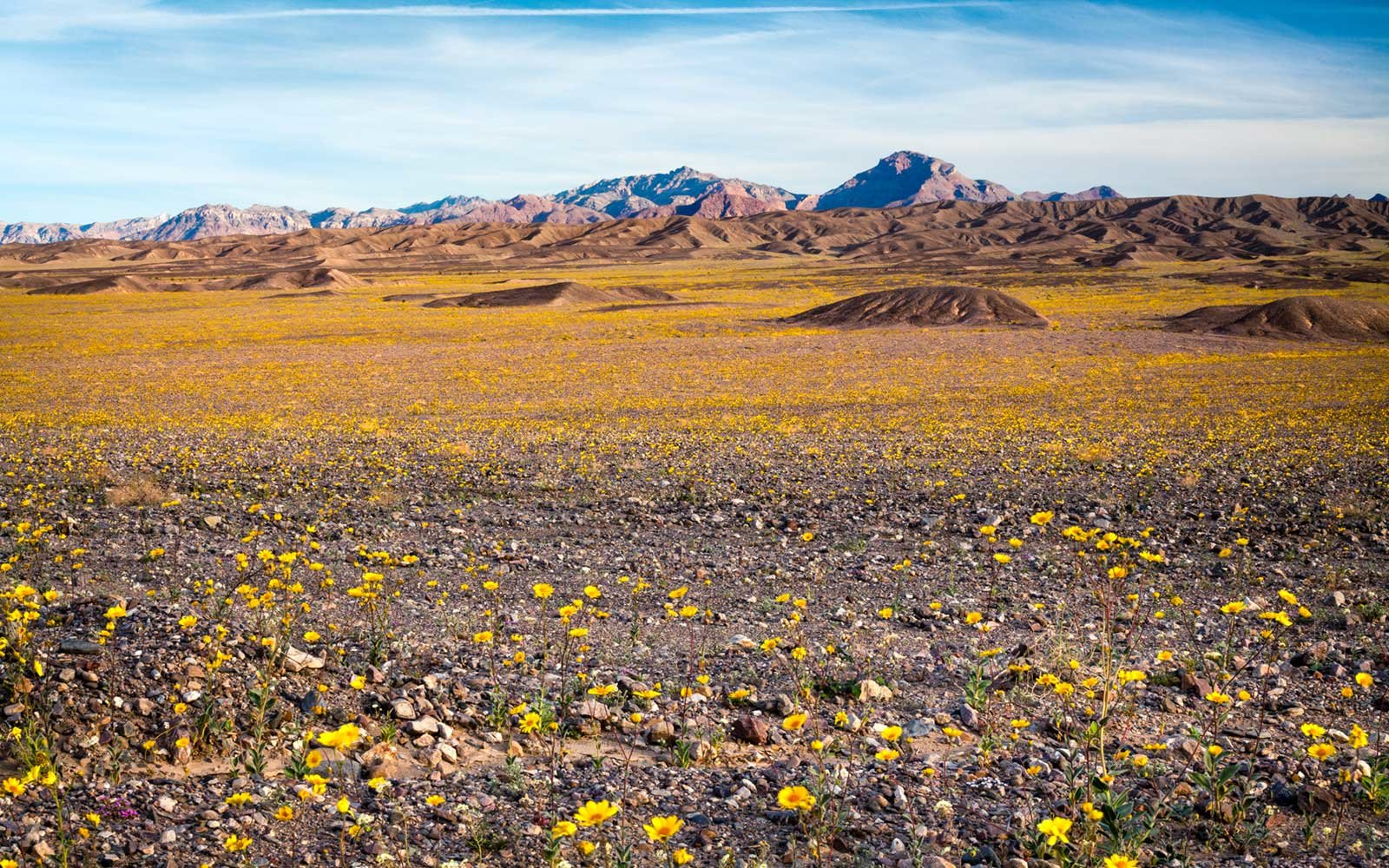 Wildflowers, Super Bloom, Spring 2016, Amargosa Mountains, Death Valley National Park
