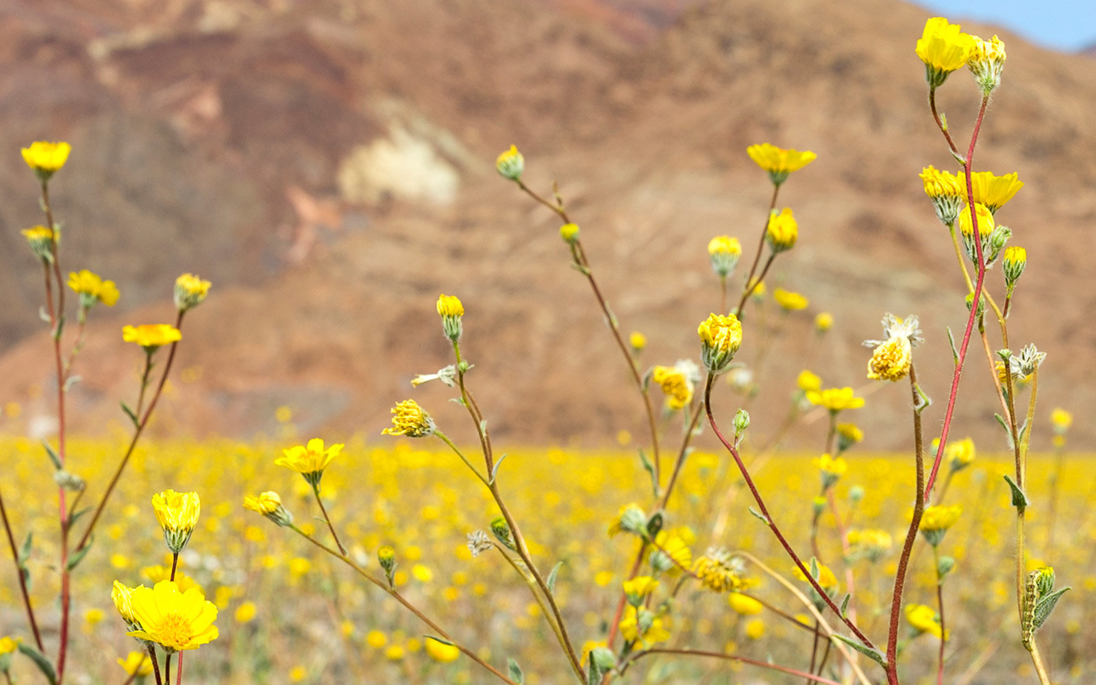 Californias winter rains could mean great desert wildflowers wildflowers furnace creek death valley national park super bloom spring 2016 mightylinksfo