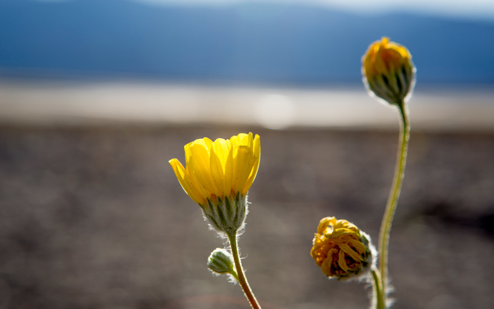 Yellow Wildflower, Death Valley National Park, Super Bloom, Spring 2016