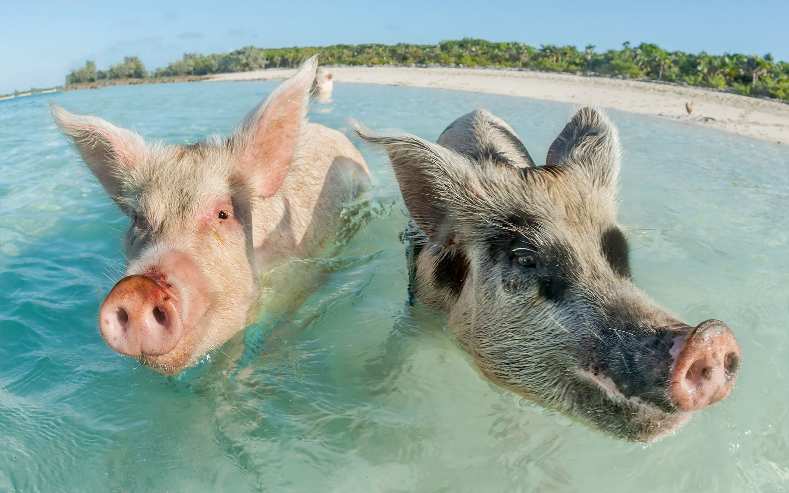 More Than a Dozen Exuma Pigs Found Dead