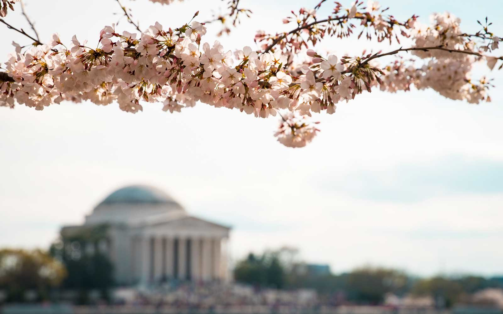Cherry Blossom Trees Are Blooming In D.C. Weeks Earlier Than Usual