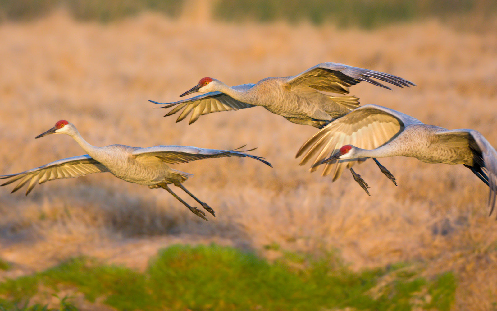 Sandhill Crane Migration, Rowe Sanctuary, Gibbon, Nebraska