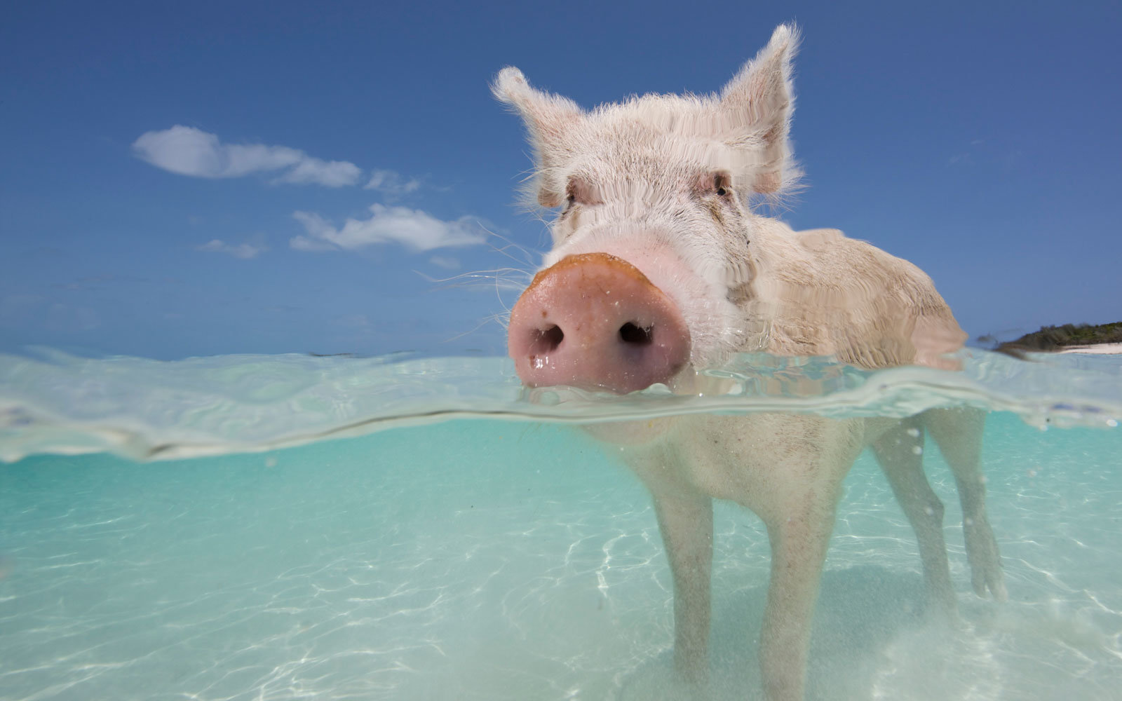 Everything to Know About Swimming With Pigs in the Bahamas ...