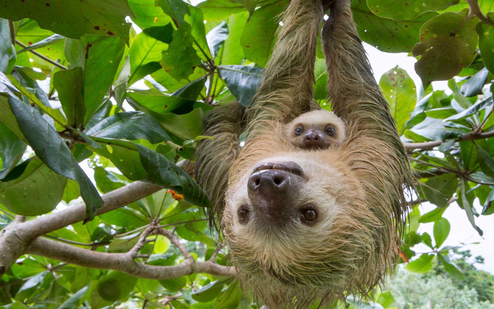 sloth baby mom toed animals costa rica mother wildlife choloepus suzi eszterhas hoffmanni hoffmann hoffmanns minden uploaded sloths wild around