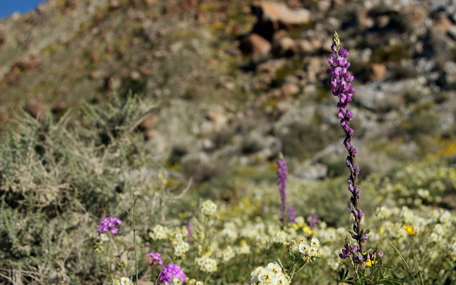 Super bloom in Southern California's Anza-Borrego Desert State Park