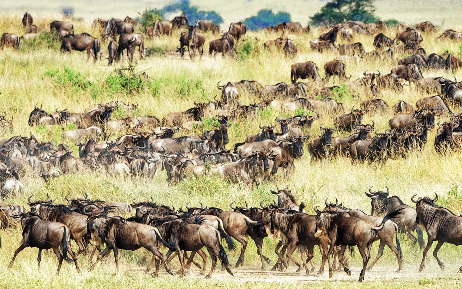 Wildebeest, Great Migration, Tanzania, Africa