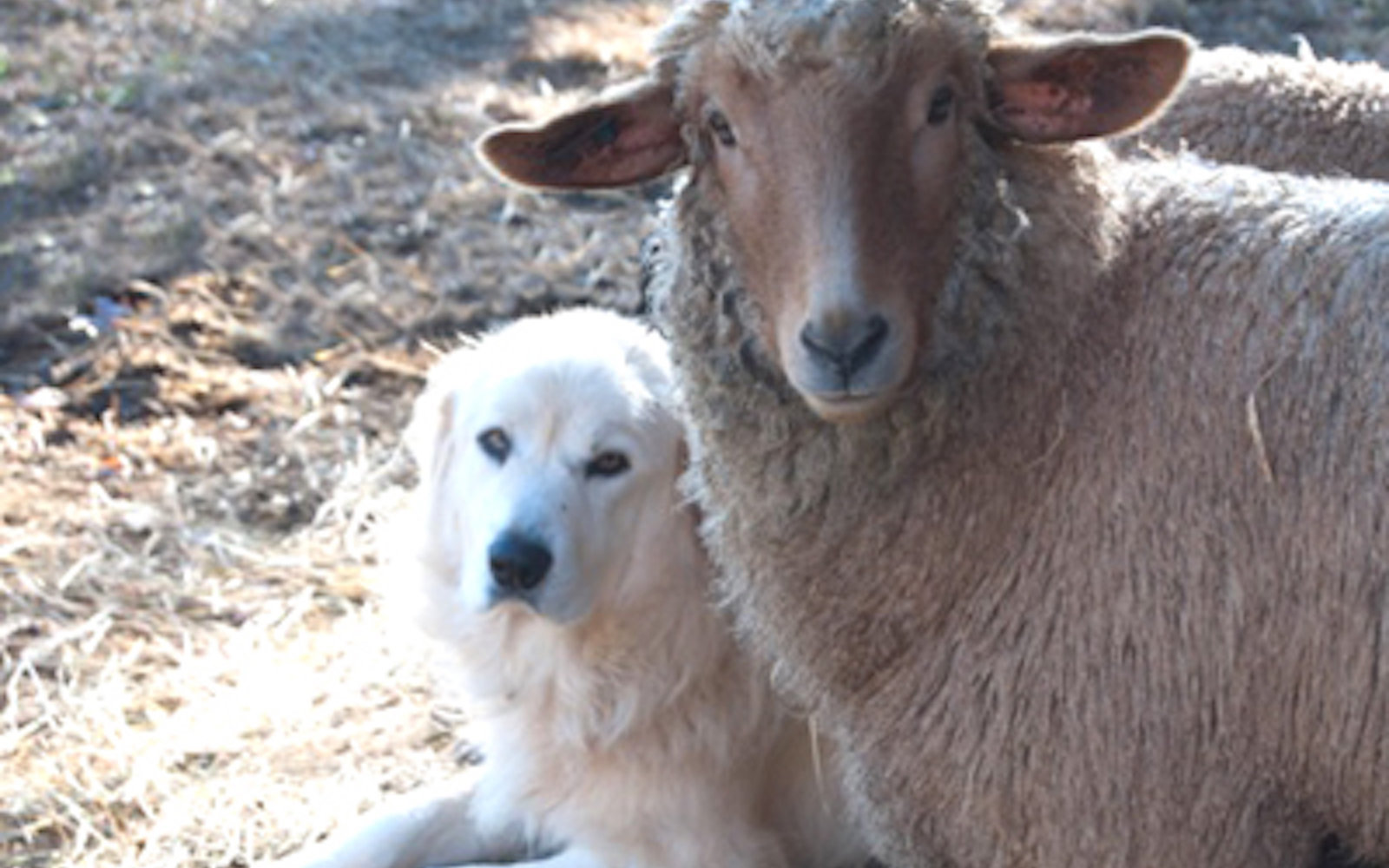 A dog and goat sit on Brightwood Vineyard and Farm in Madison County, Virginia