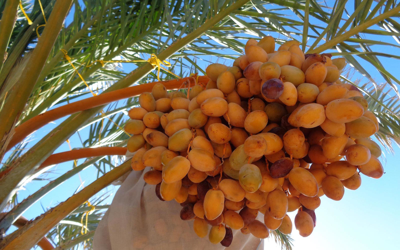 A branch of dates on Gordon's farm in Mecca, California