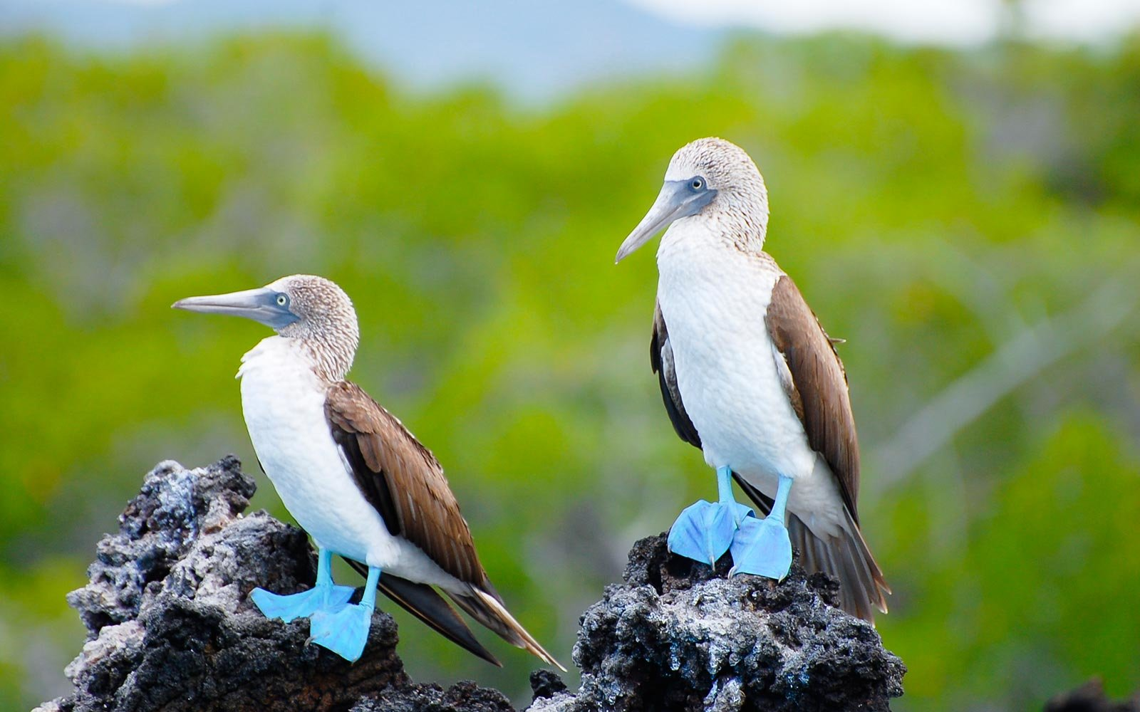 Blue Footed Boobies, Galapagos, Ecuador