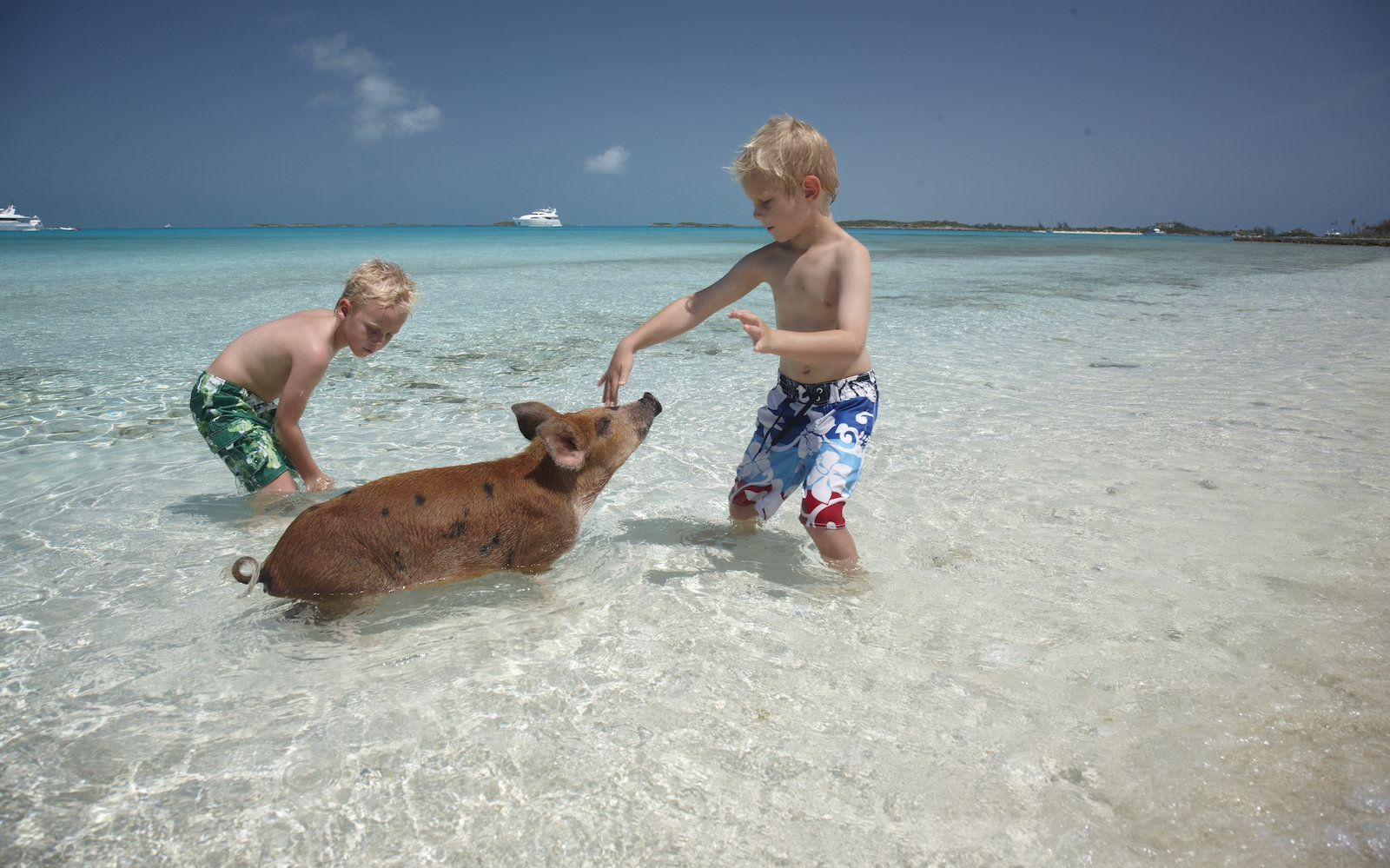 Kids play with swimming pigs at Big Major Cay in Exumas, Bahamas
