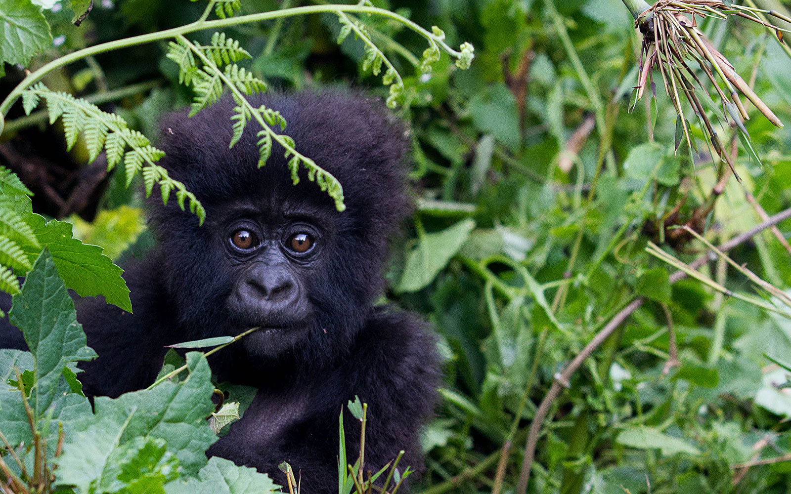 Trekking with gorillas in Rwanda just got more expensive