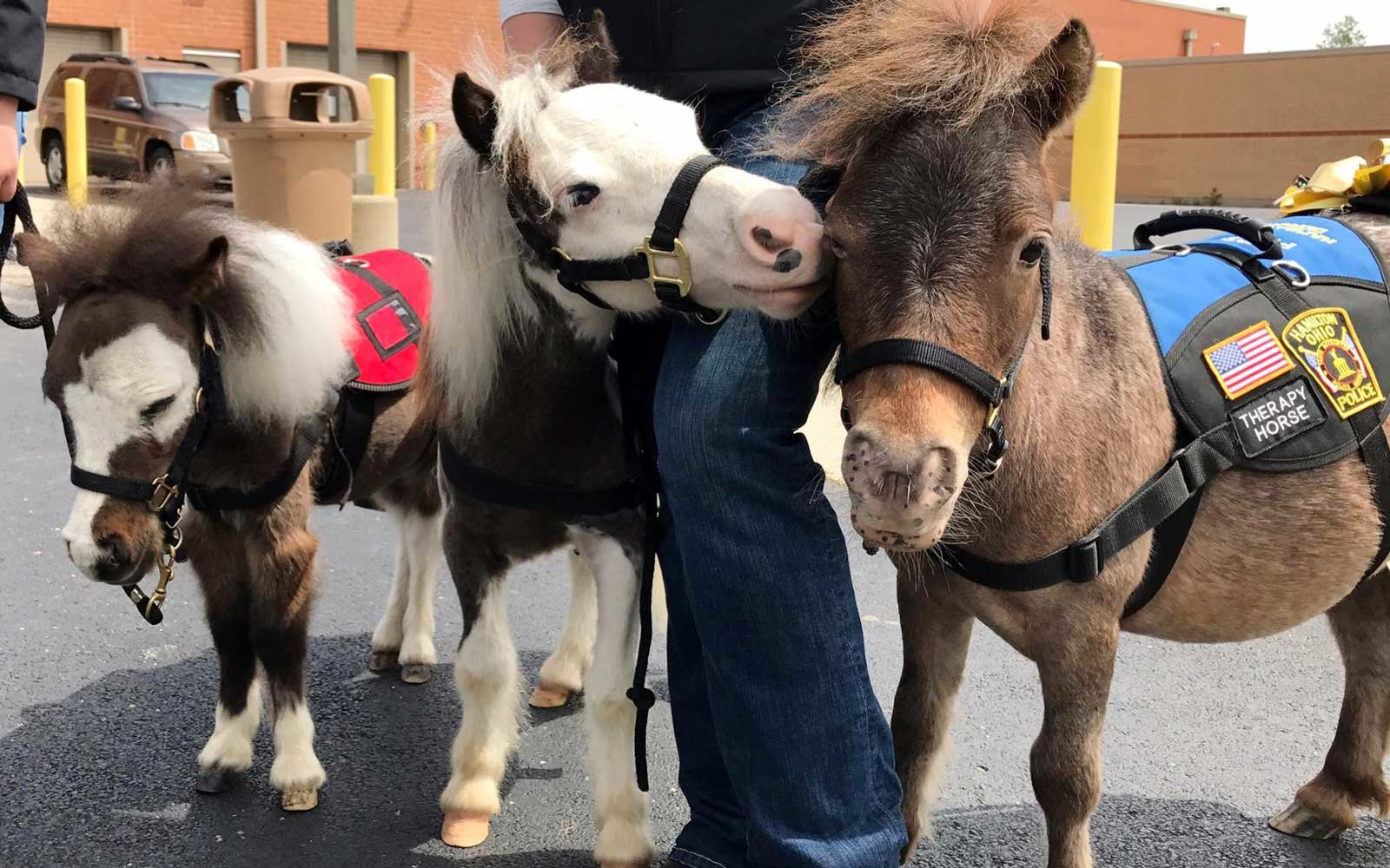 These Miniature Horses Are Calming Passengers At Cincinnatis - Adorable miniature horses provide those in need with love and care