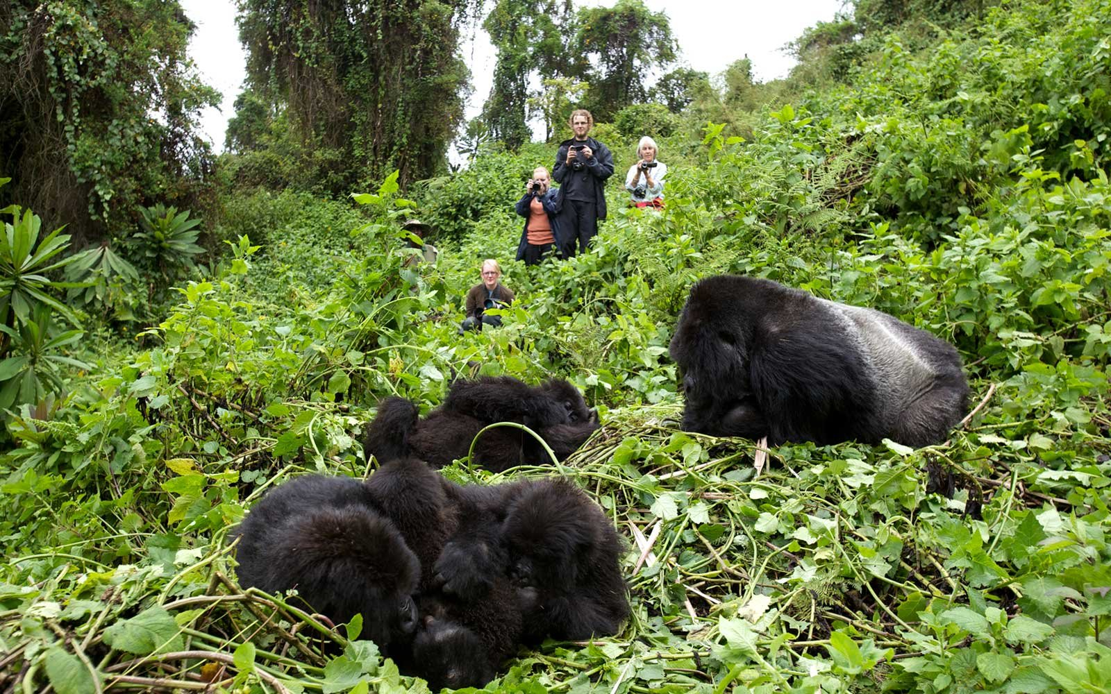 Mountain Gorillas, Volcanoes National Park, Rwanda
