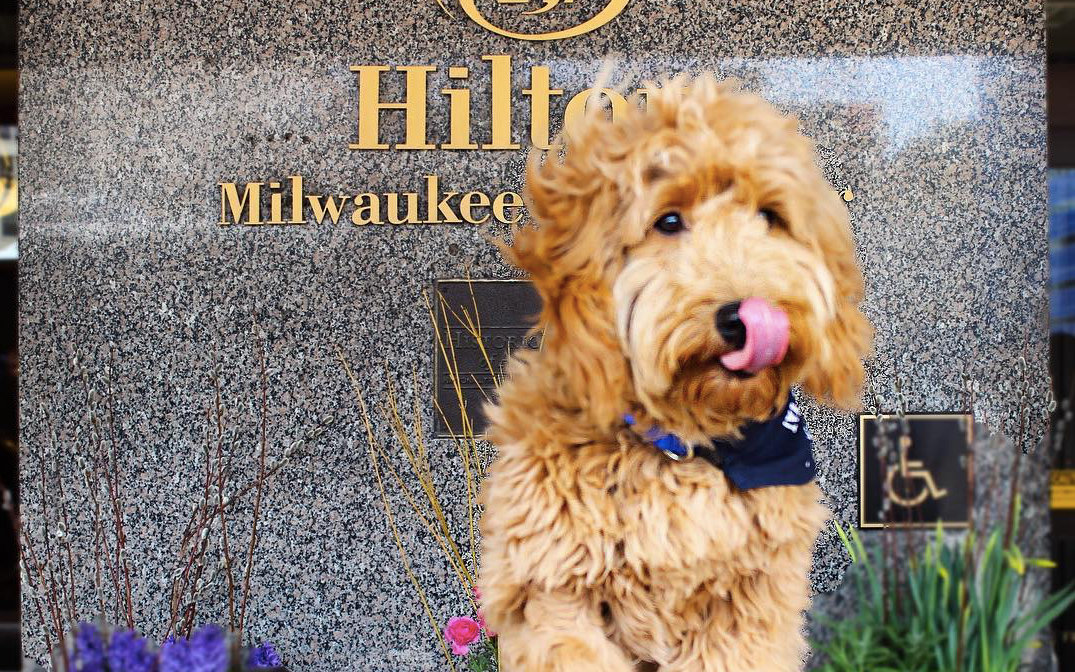 Millie, the Goldendoodle concierge.