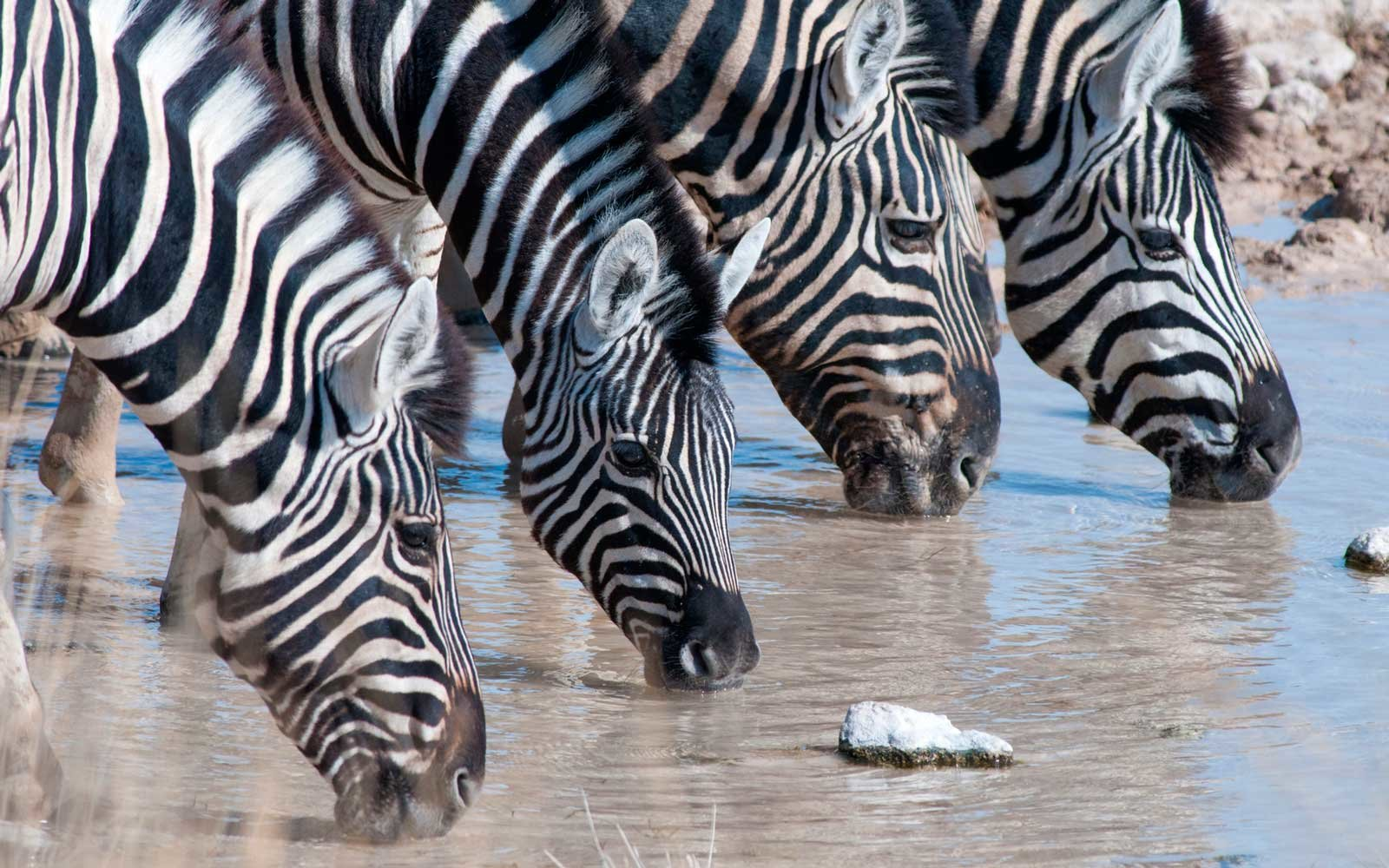 Four zebras drinking from a waterhole in Etosha National Park. Namibia, Southern Africa.