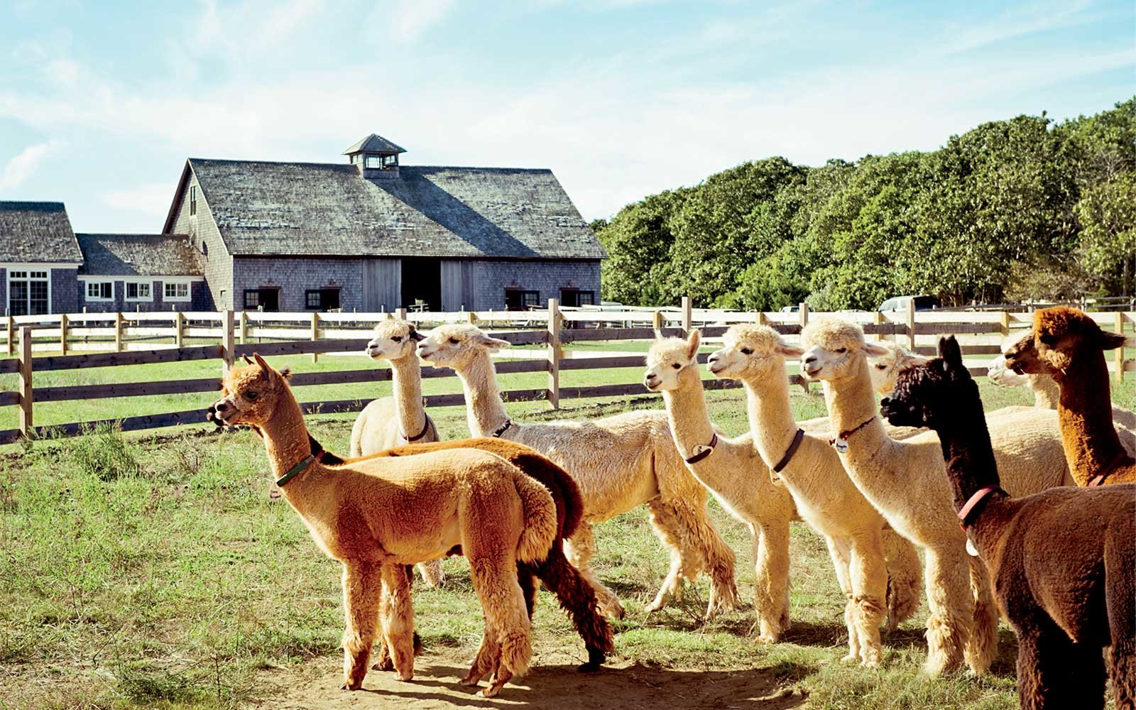 Alpacas in Martha's Vineyard