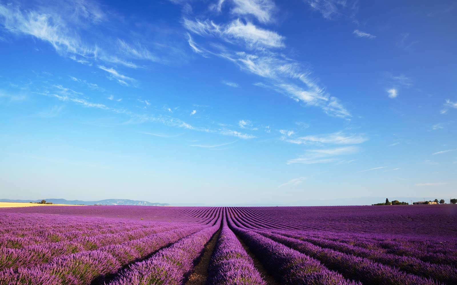 Lavender field in Valensole, Haute Provence, France.