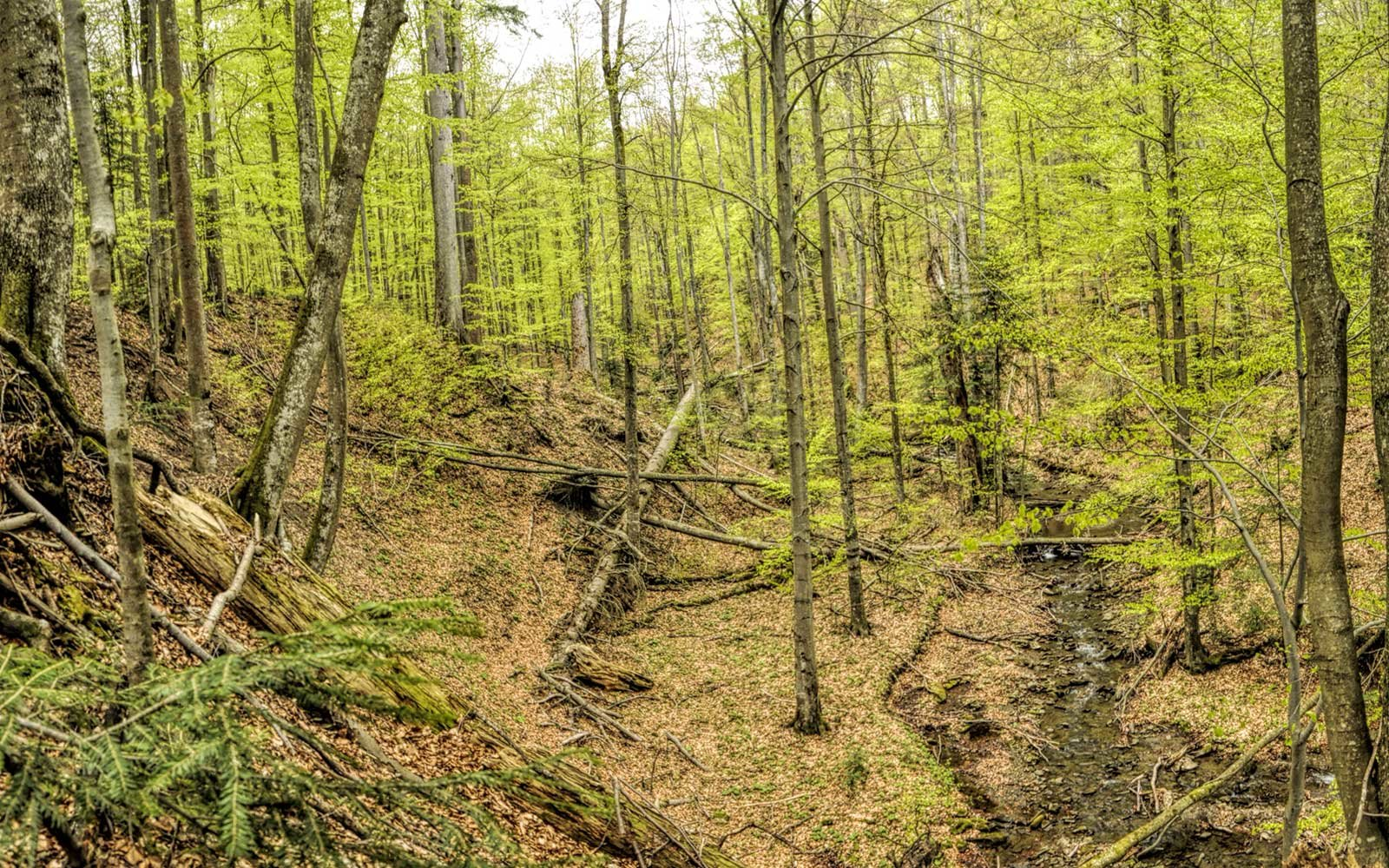 Primeval Beech Forests of the Carpathians, Germany