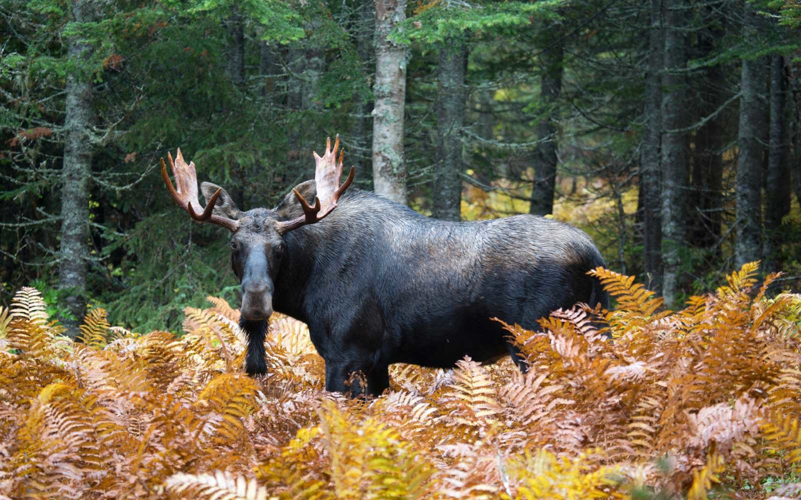 Where to See Moose in Canada