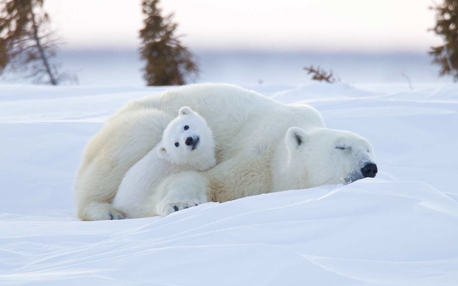 Polar bear (Ursus maritimus) and cubs, Wapusk National Park, Churchill, Hudson Bay, Manitoba, Canada