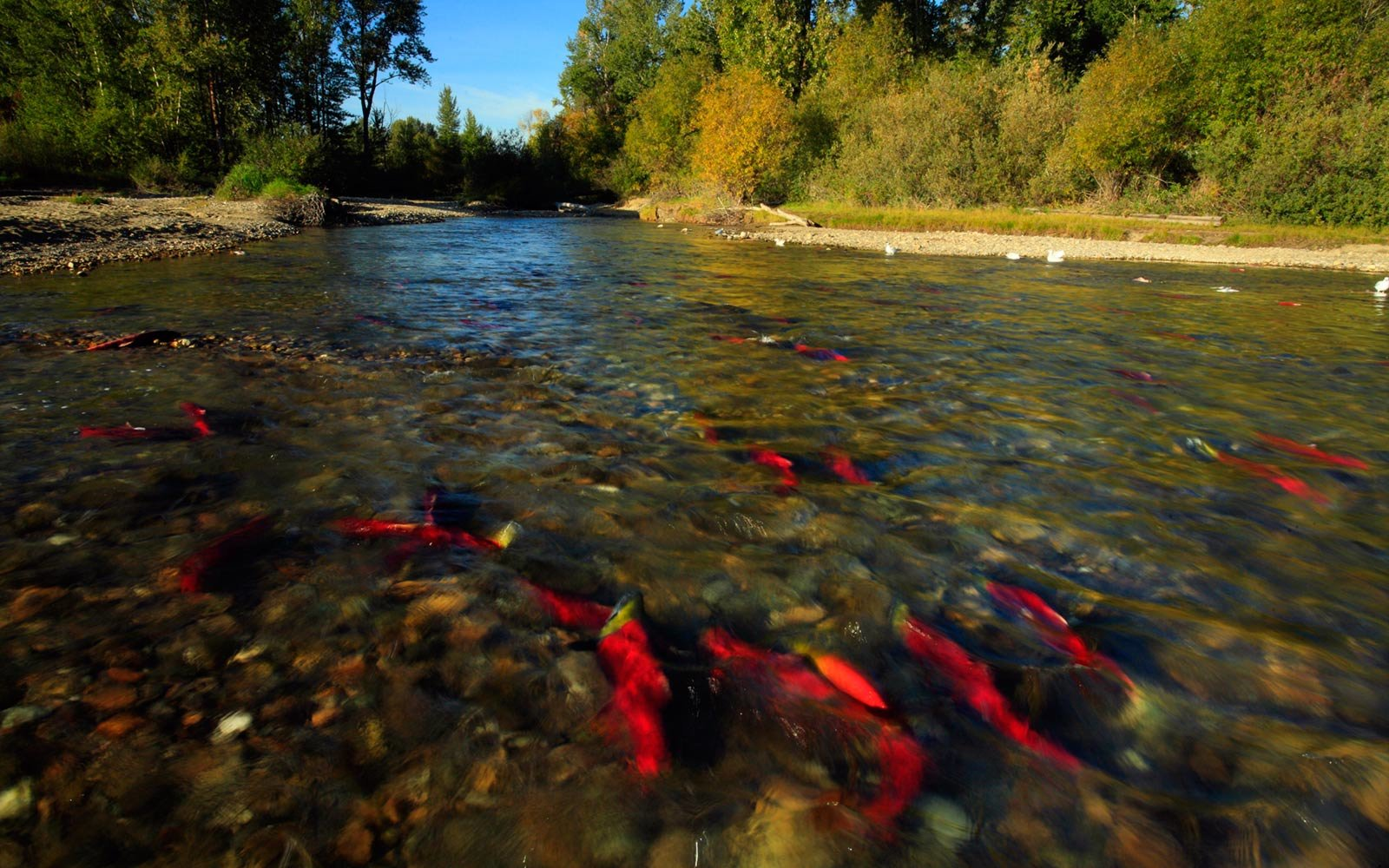 Sockeye Salmon, Adams River, British Columbia
