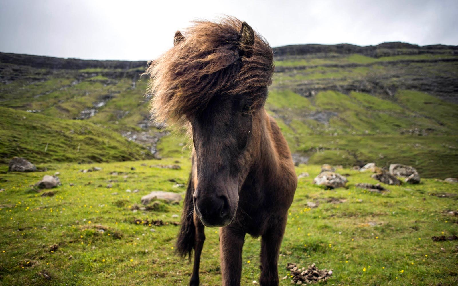 Horse on the Faroe Islands