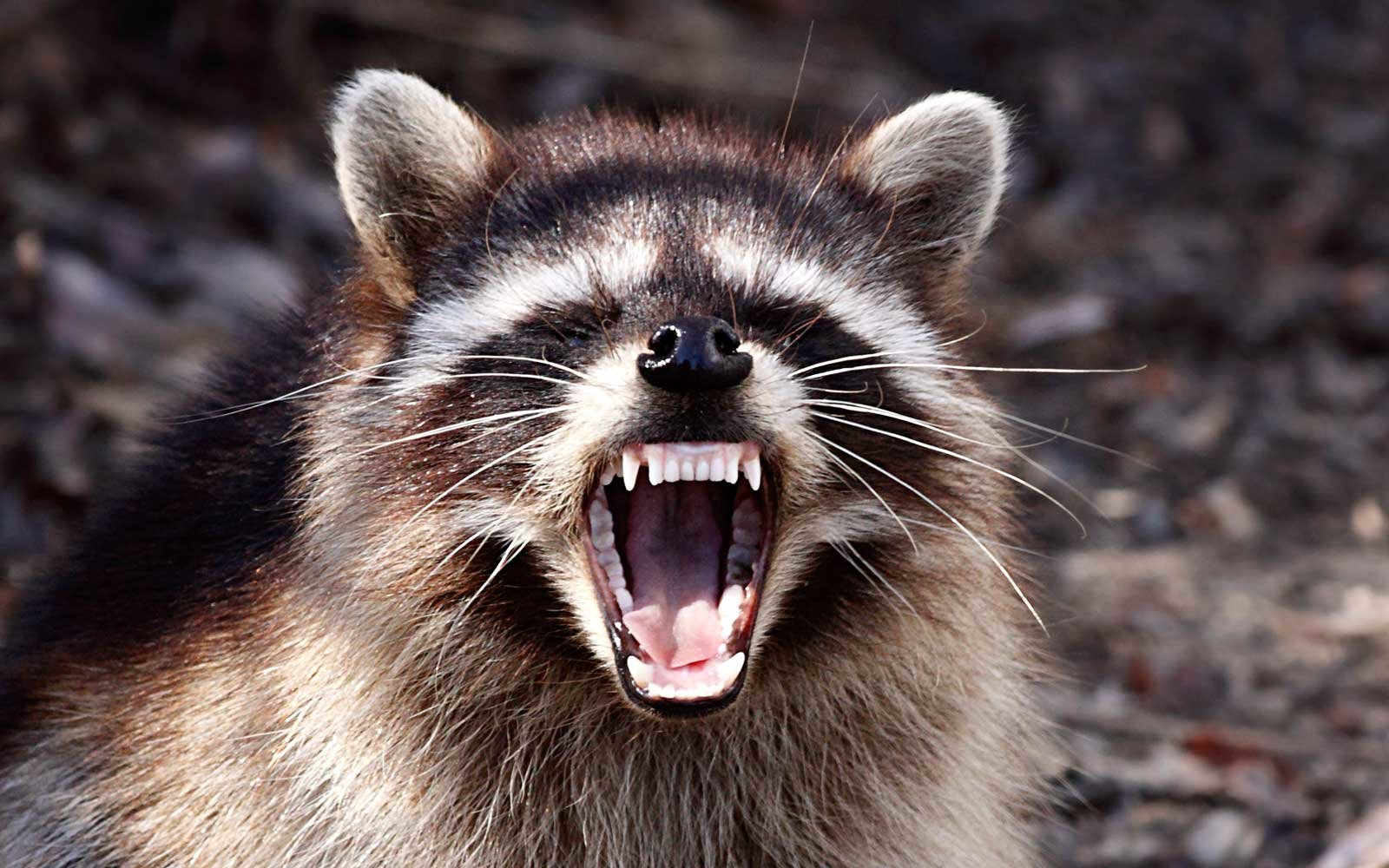 Raccoon Baring Teeth