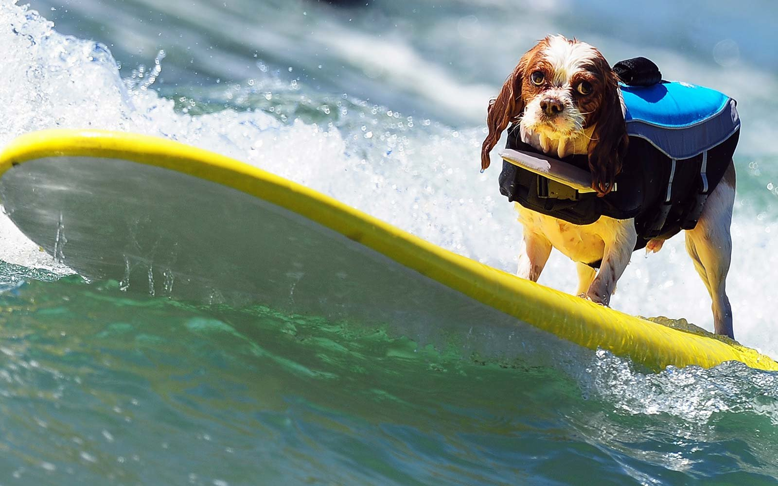 A dog rides a wave while competing during the Dog Surfing competition Championship at Beach, California