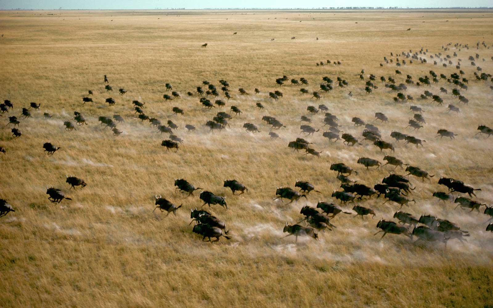 Aerial of a herd of migrating blue wildebeests kicking up a cloud of dust as they run across the Magadigadi Pan, Botswana.