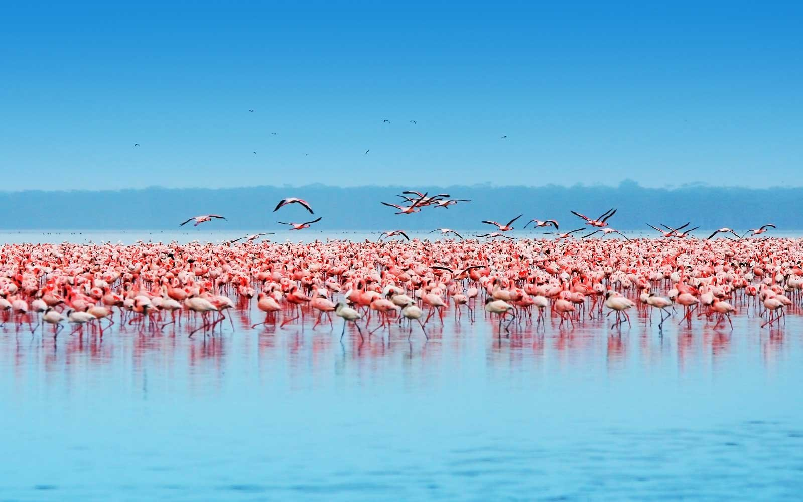 African safari, flamingos in the lake Nakuru, Kenya