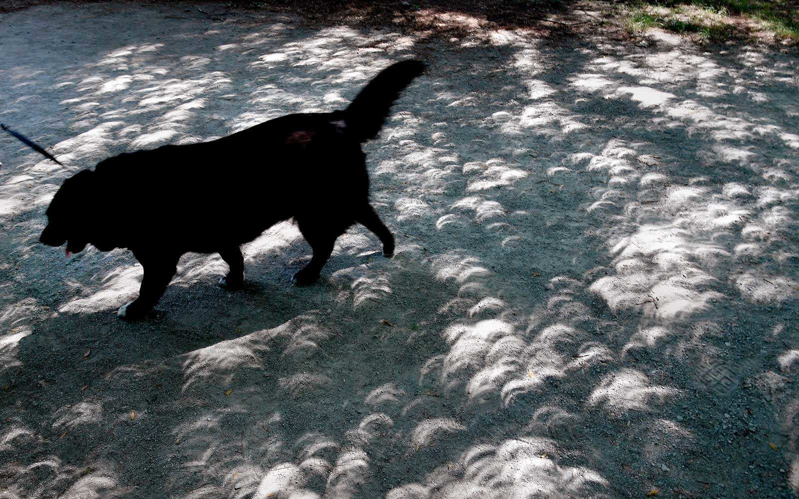 Crescents that are the shadows of the eclipse could be seen on the ground through the shade of trees