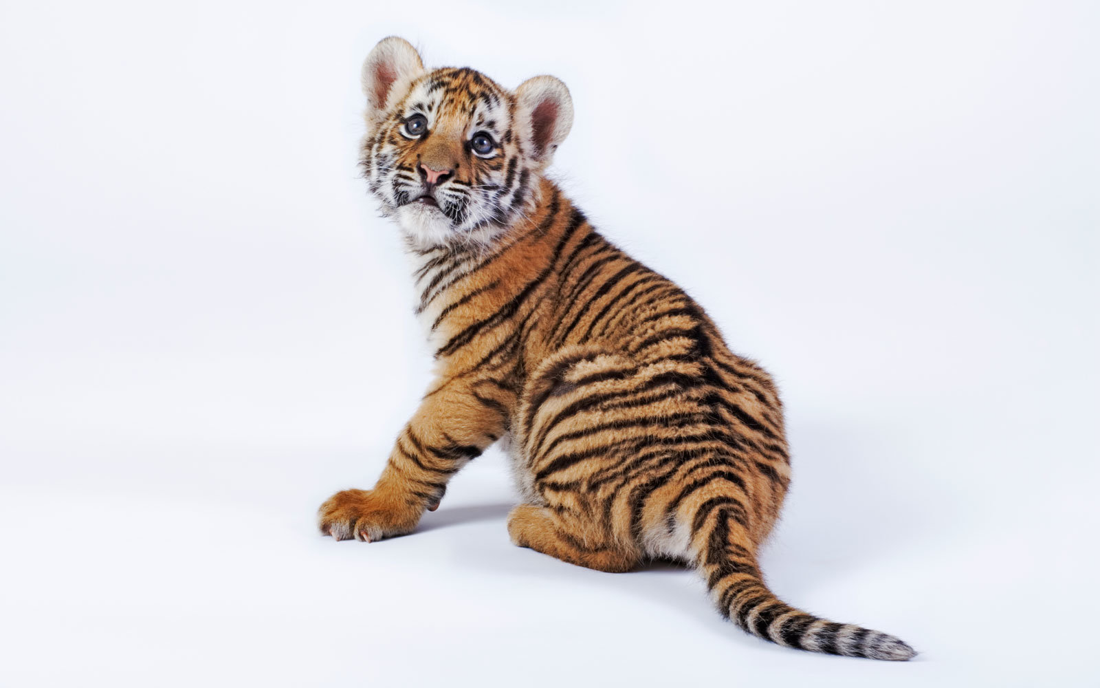 Tiger Cub Confiscated at Border Crossing