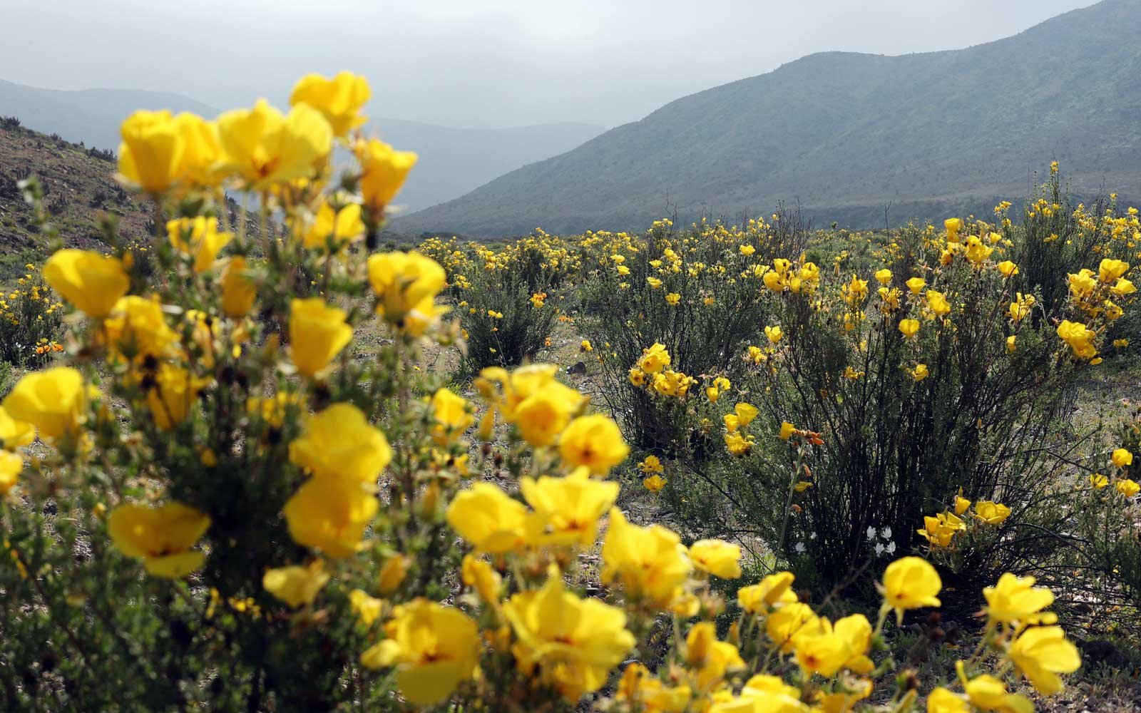 Flowers with view of Mountains in Chile