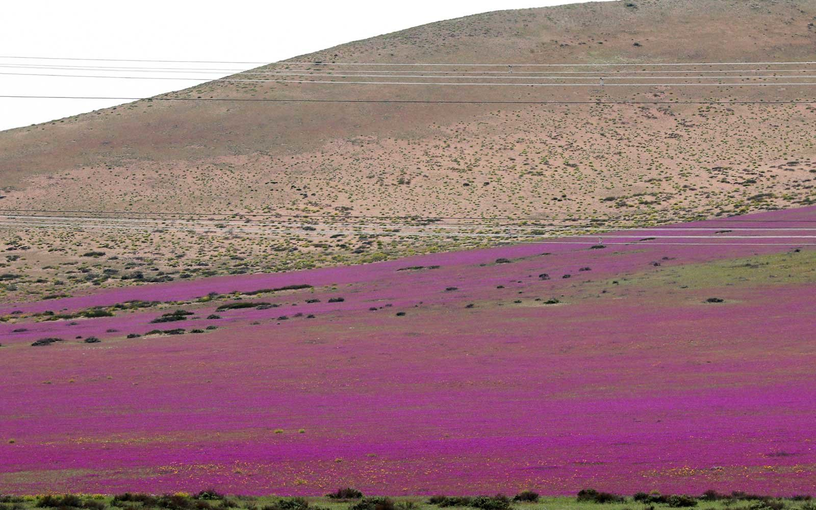 Carpet of Purple Flowers in the Atacama Desert