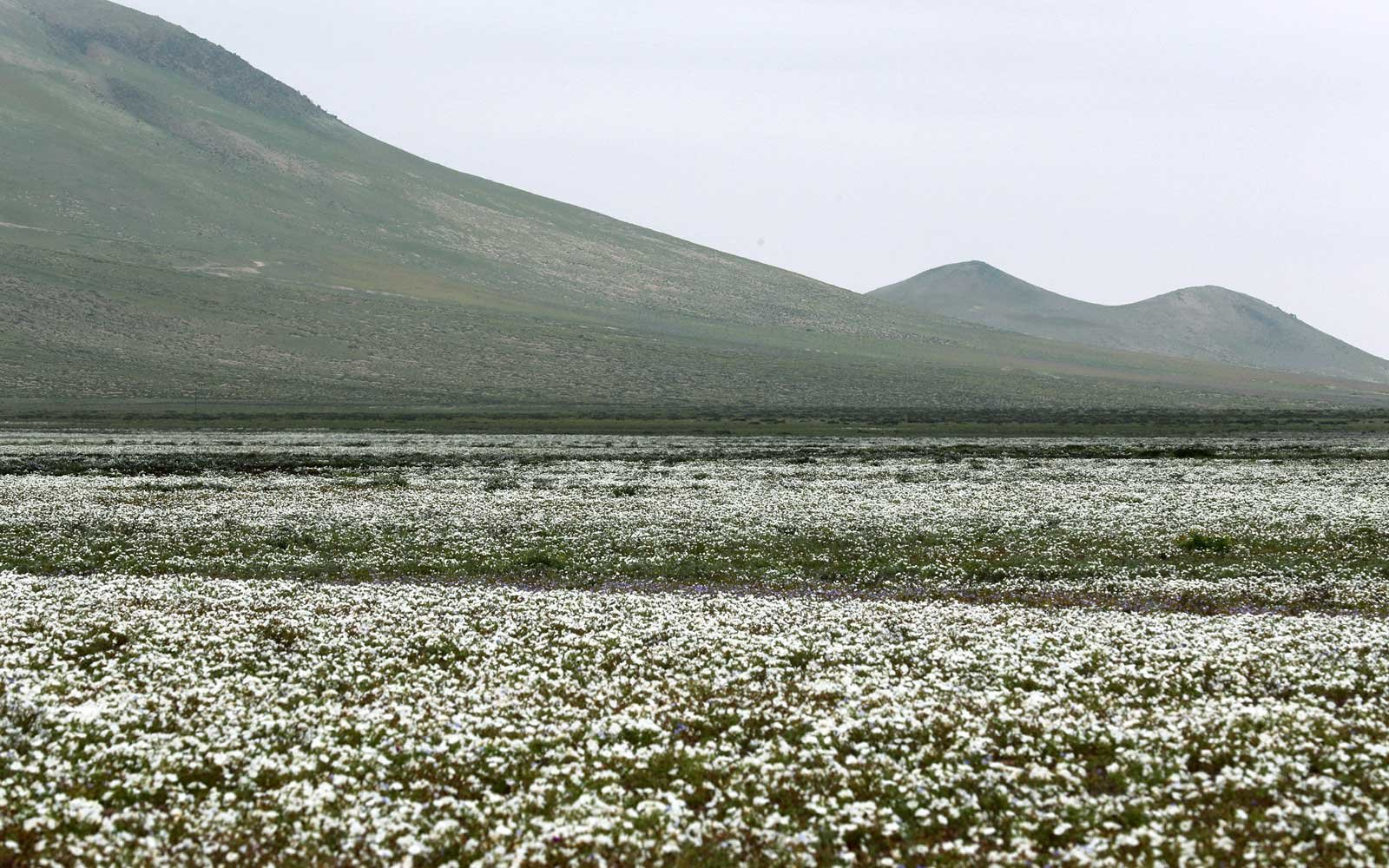 White Flowers Bloom in the Atacama Desert after Heavy Rainfall