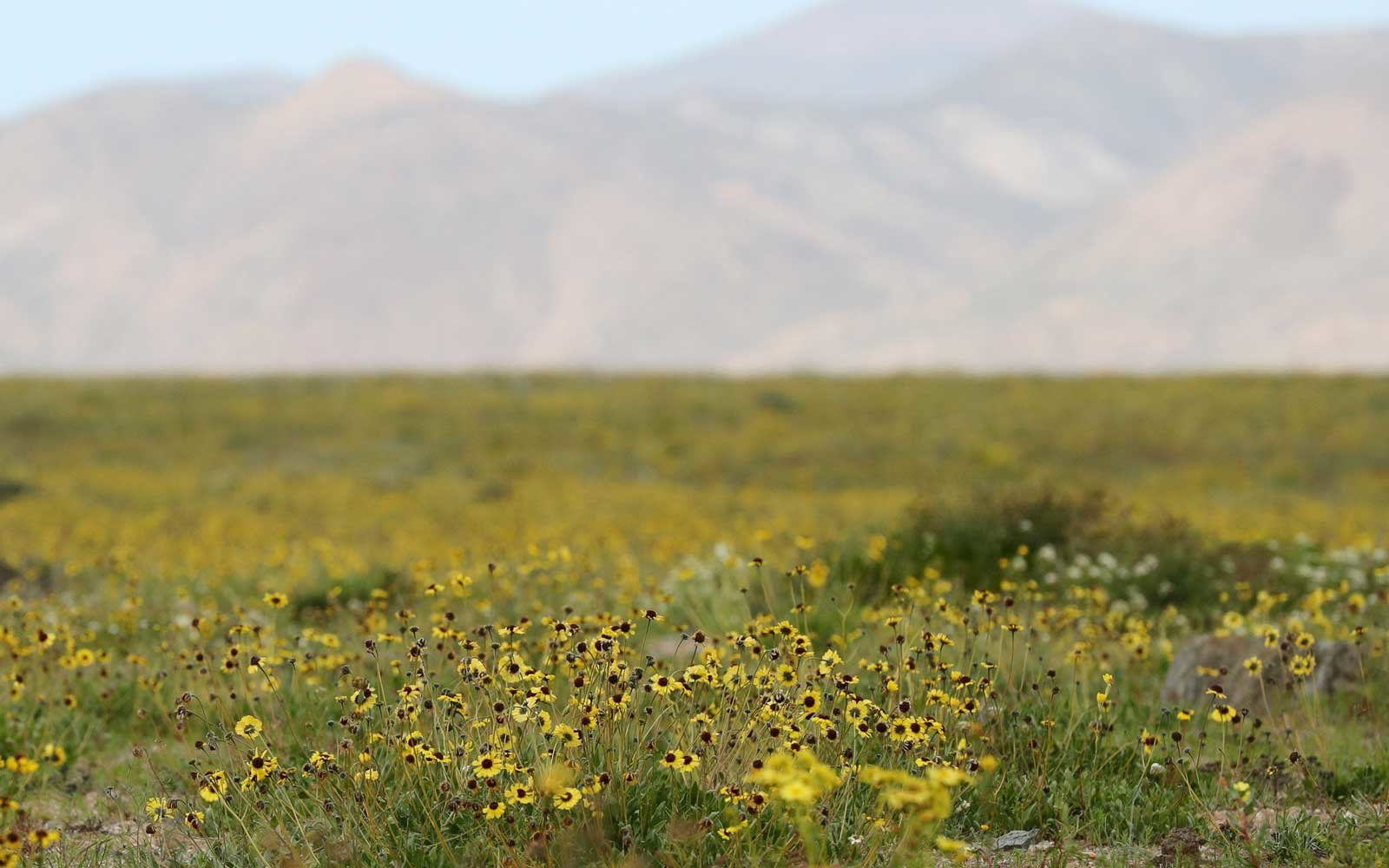 Rare Flowers in the Atacama Desert